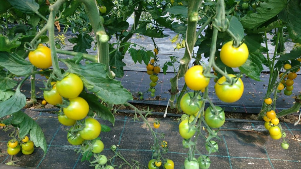image-9777005-2019.07.02_Tomates_Golden_Pearl_-d3d94.w640.JPG
